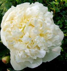 Paeonia lactiflora (white double) 'Duchess de Nemours'