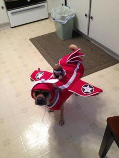 2 year old fawn colored male puggle dressed in a pilot costume, ready for trick-or-treat Pet Halloween Costumes, Pet Costumes, Fawn Colour, Daily Record, Costume Contest, Your Pet, Pilot, Pets