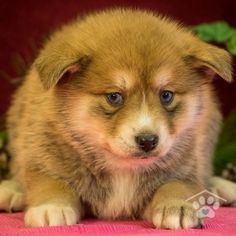 ADOPTED - Miles is my name and adventure is my game. I am an adorable Pomsky puppy. I love to play and romp. I love playing with toys. I am the perfect Mini Husky. Make me yours today! Pomsky Breeders, Mini Huskies, Pomsky Puppies For Sale, Husky, Puppy Breeds, I Am Game, Corgi, Adoption, Animals