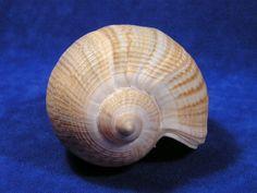 sea shells   Fig sea shells - brown seashells, thin seashells, light seashells