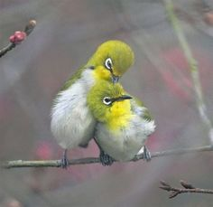 Japanese White Eye Birds