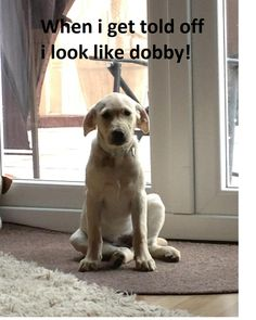 """From Dog Shaming: """"When i get told off i look like dobby!"""" This dog could take over the world with that superpower."""