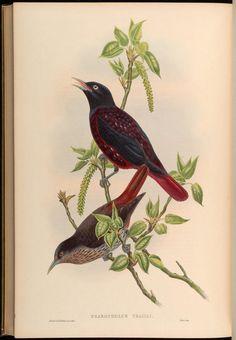 v 2 - Birds of Asia / by John Gould. - Biodiversity Heritage Library