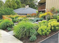 front lawn alternative of grasses, euphorbias and kangaroo paw - easy care and drought tolerant