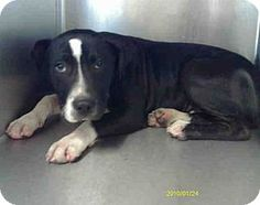 Apollo - ID#A101864: I am a male blk and wht Staffordshire Bull Terrier. I am about 4 months old. I have been at the shelter since December 17, 2012. **NOTE: THE SHELTER HAS MOVED MANY OF THE LITTLE DOGS TO A ROOM OF THEIR OWN. PLEASE ASK TO SEE THEM IF YOU DO NOT SEE WHO YOU ARE LOOKING FOR IN THE GENERAL KENNELS**  PLEASE REFER TO ID # WHEN CALLING THE SHELTER. I'm available to adopt from the shelter! Come visit me at Sutter Animal Services: 102 Second St, Yuba City, CA 95991. (530)…