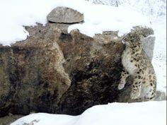 snow-leopards-rebounding-afghanistan-scratching_37529_600x450.jpg 600×450 pixels