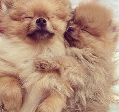 Sweet and beautiful Pomeranian puppies
