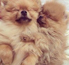 Sweet and beautiful Pomeranian puppies