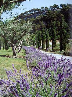 Olive trees, lavender and Cupressus sempervirens 'Pyramidalis' punctuating the classic Mediterranean landscape.