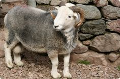 Hardy Sheep Breeds | CUMBRIAN HILL SHEEP BREEDS