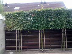 Carpinus betulus Lucas-- Bladhoudende Lei-beuk Zo is de situatie bij ons nieuwe huis ook.