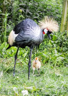 https://flic.kr/p/Pc5acN | 7958-gt-crested-crane-with-chick