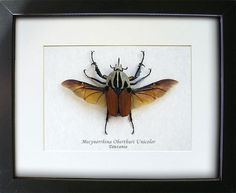 Mecynorrhina Oberthuri Unicolor Real Beetle From Tanzania In Shadowbox by ButterfliesArtist on Etsy Insects Names, Museum Displays, Butterfly Frame, Insect Art, Logo Design, Graphic Design, Old World Style, Picture Hangers, Natural World