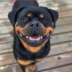 Search And Rescue Dogs, Rottweiler Dog, Cute Cats And Dogs, Mans Best Friend, Puppy Love, Labrador Retriever, Dog Cat, Cute Animals, Blue Heelers