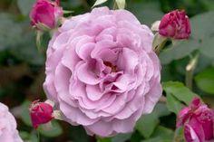 'Sweetness' floribunda, won Most Fragrant Rose in 2010 Portland's Best Rose Contest ~ Portland's International Rose Test Garden
