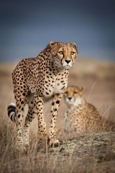Cheetah Being Cautious and Leary. Nature Animals, Animals And Pets, Cute Animals, Beautiful Cats, Animals Beautiful, Gato Grande, Photo Animaliere, Small Cat, Tier Fotos