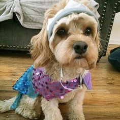 Sneak peek of Lola's halloween costume from the doggie section of @Marshalls.