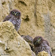 little owl Danube Delta  Romania Black Sea Delta Dunarii poze