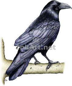paintings of ravens | Common Raven (Corvus corax) Line Art and Full Color Illustrations