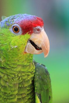 Lilac Crowned Amazon Parrot