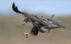 The great birds type. Lets known about all types of eagles species in the world Eagle Wallpaper, Full Hd Wallpaper, Cool Wallpaper, Types Of Eagles, Bird Types, Eagle Claw, Free Hd Wallpapers, Animals Images, Photos