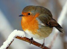 Love Robins, so sweet!
