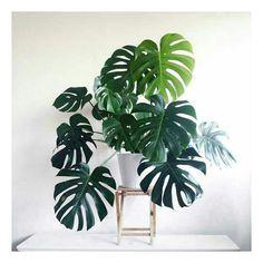 Enquanto está tudo parado esperando orçamentos, estou procurando plantas para ter dentro de casa.  Queria muito uma como essa da foto, que chama costela de Adão. Diz que ela cresce bastante, mas pode ser mantida em vasos e não precisa de sol direto. #plantas #decoração #apartamentopequeno #jungalowstyle