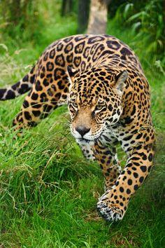 leopardo felino caminando sigiloso por el bosque.jpg (1065×1600)