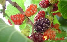 Dwarf Everbearing Mulberry - Live quart plant shipped bare root - Self fertile and produces deliciou New Hair Colors, Korn, Cholesterol, Shrubs, Minis, Raspberry, Home And Garden, Gardening, Fruit