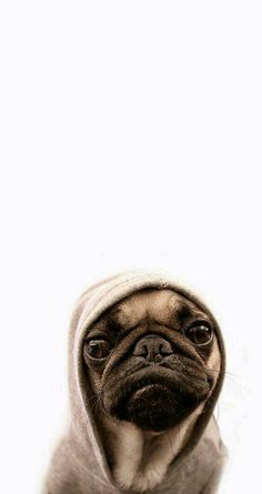 Tap for more Cute Pug Dog HD Wallpapers. – Wallpapers for iPho… Cute pug. Tap for more Cute Pug Dog HD Wallpapers. – Wallpapers for iPhone … Wallpaper Tumblrs, Dog Wallpaper Iphone, Tier Wallpaper, Animal Wallpaper, Wallpaper Backgrounds, Seagrass Wallpaper, Paintable Wallpaper, Trendy Wallpaper, Colorful Wallpaper