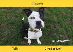 Teila at Dogs Trust Newbury loves to be the centre of attention. She is very loving, affectionate and friendly.