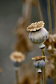 Beautiful poppy seed pods. We had these when I was growing up.