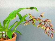 Catasetum blackii