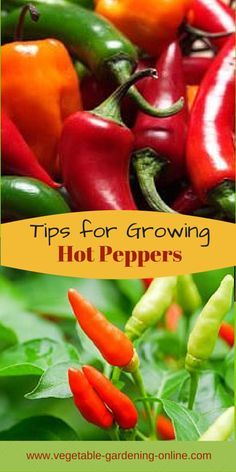 Vegetables Gardening Easy tips for growing hot peppers in your vegetable garden! Use our zone chart, planting guide, and worksheets to help plan your garden. Growing Peppers, Growing Veggies, Growing Tomatoes, Growing Jalapenos, Growing Plants, Indoor Vegetable Gardening, Home Vegetable Garden, Organic Gardening, Gardening Vegetables