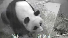 Panda Humor - Government Shutdown Forces National Zoo To Turn Off Panda Suicide Cam | The Onion - America's Finest News Source