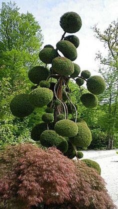 Cloud pruning reaching for the sky. Topiary Garden, Topiary Trees, Garden Art, Garden Design, Trees And Shrubs, Trees To Plant, Cloud Pruning, Parc Floral, Unique Trees