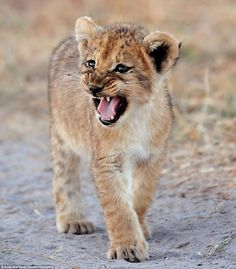 An adorable but wild at heart lion cub patrols a stretch ground in Savuti in Botswana, as ...