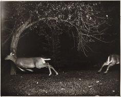 George Shiras • Deer