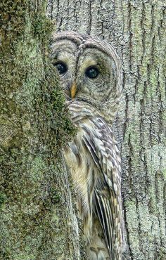 A shy Barred Owl bird peeks around a tree by photographer Jennie Marie Schell. Beautiful Owl, Animals Beautiful, Pretty Birds, Love Birds, Pretty Baby, Animals And Pets, Cute Animals, Wild Animals, Photo Animaliere