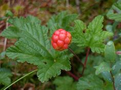 Cloudberry, Rabivere Bog.