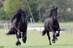 Friesians                                                                                                                                                                                 More