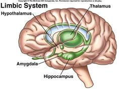 Image result for limbic system