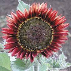 amazing red sunflower