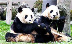 Ces deux pandas géants dégustant des bambous