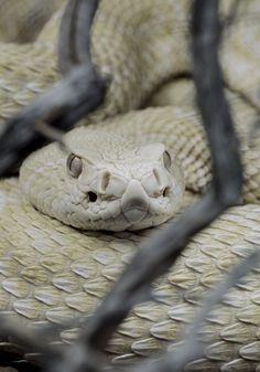 Albino Saw-scaled Viper