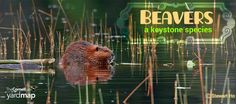 Beavers are ecologically important keystone species. The wetlands created by their dam building provides prime habitat for a diversity of birds, aquatic plants, insects, amphibians and mammals. Learn more about the largest rodent in North America and land management considerations if you have them on your property, by exploring our new Learn article: http://content.yardmap.org/learn/got-beavers-land-management-considerations/