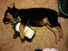 Some Dogs Just Can't Handle College Life