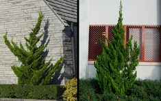 Hollywood Juniper is an interesting coniferous evergreen shrub or small tree that grows in an upright twisted fashion; you'll never find two of these plants that look the same. Juniper Tree, Garden Online, Farmhouse Landscaping, Evergreen Shrubs, Large Plants, Backyard Projects, Small Trees, House Front, Get Outside