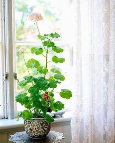 how-to-grow-geranium-indoors-3