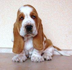 1000+ ideas about Baby Basset Hound on Pinterest | Basset Hound ...